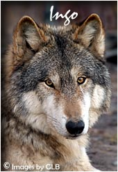 Wolf cub images page 7