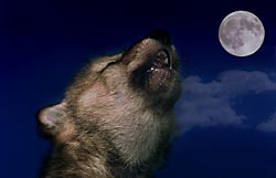 Wolf howling events at wolf timbers